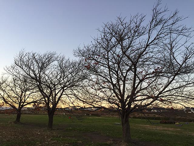 河川敷に長く住む桜三兄弟の冬枯れの景色。