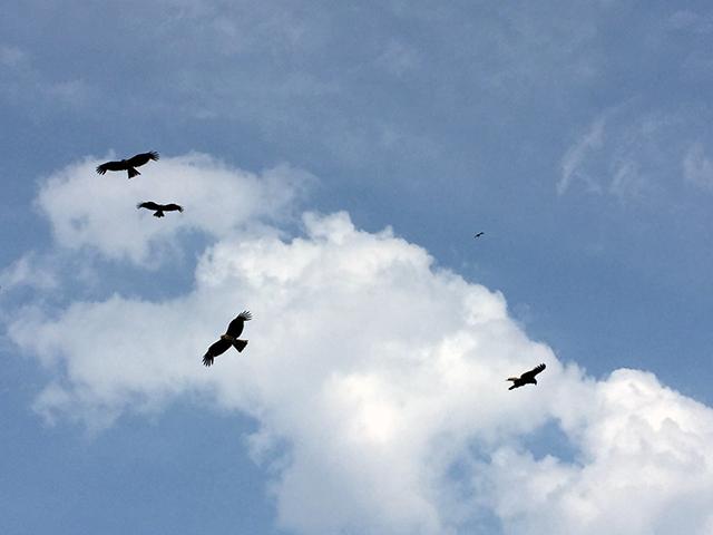江ノ島には、たくさん鳶(とび)が