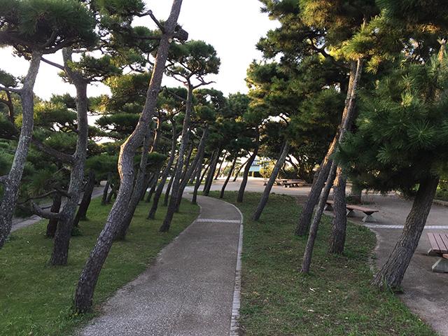 海からの風で、城ヶ島公園の松は、みんな傾いていました。