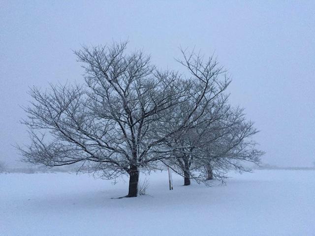 桜三姉妹の樹と雪