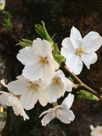 桜・ひかりとかげ