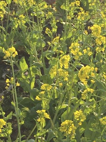 歩道・菜の花