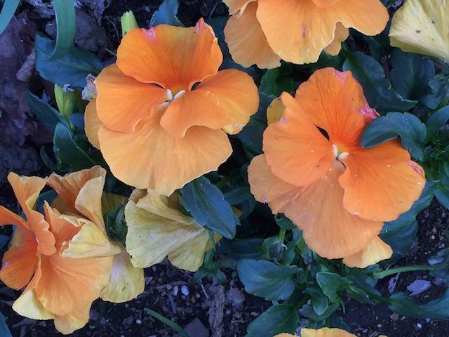 歩道・オレンジの花