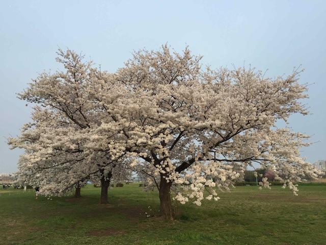 河川敷・桜