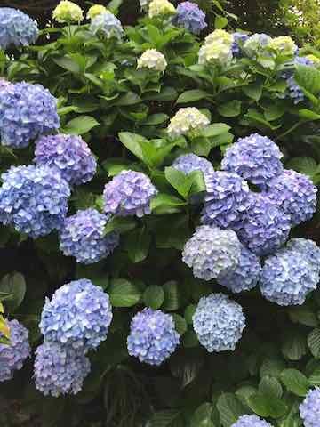 小田原の紫陽花