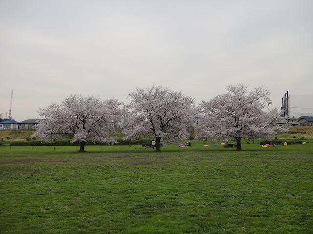 春の桜三兄弟