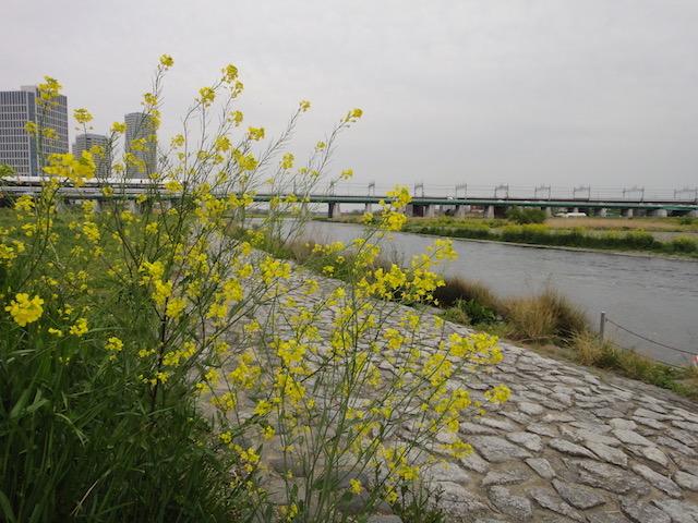 菜の花の岸辺