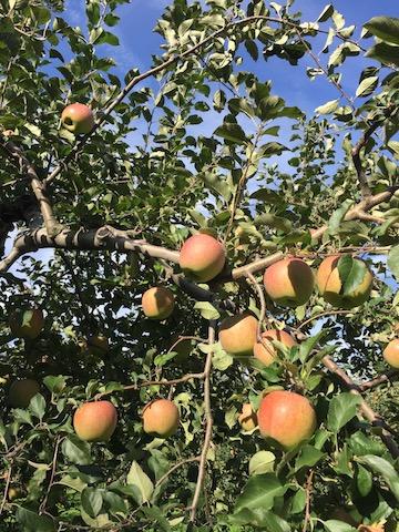 津軽のりんご