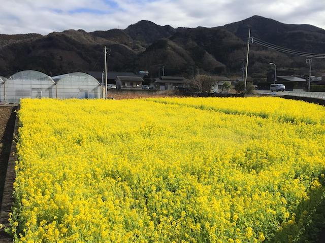 土肥の菜の花