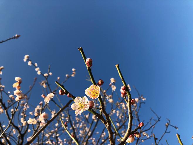 「梅は咲いたか、梅酒はまだかいな」