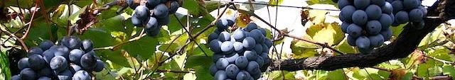 タケダワイナリーのブドウ